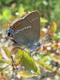 Blue-spot Hairstreak (Satyrium spini)