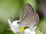 Common Grass Blue (Zizina labradus)