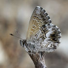 Fringed Heath Blue (Neolucia agricola)