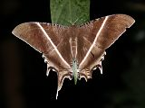 Tropical Swallowtail Moth (Lyssa zampa)