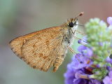 Wedge Grass Skipper (Anisynta sphenosema)