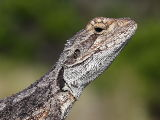 Western Bearded Dragon (Pogona minor) basking on a fence post