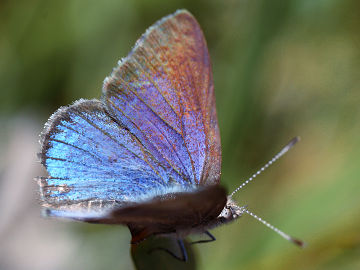Varied Dusky Blue