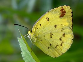 Large Grass Yellow