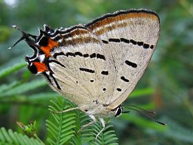 Imperial Hairstreak