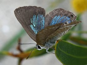 Varied Hairstreak