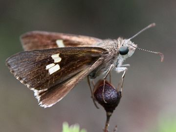 Eastern Iris Skipper