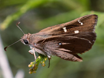 Western Brown Skipper