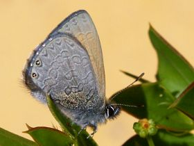 Two-spotted Line Blue