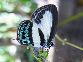 Green-banded Line Blue