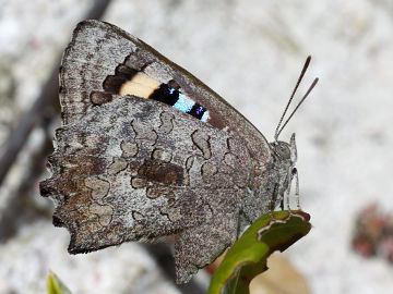 Small Bronze Azure
