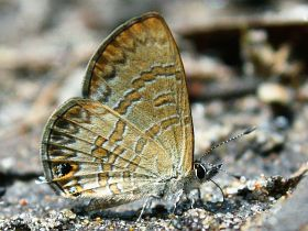 Short-tailed Line Blue