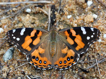 Australian Painted Lady (Vanessa kershawi)