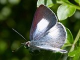 Common Pencil Blue