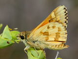Yellow Sand Skipper