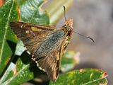 Flame Sedge Skipper