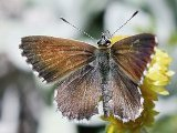Fringed Heath Blue