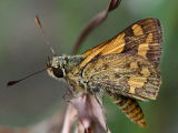 Narrow-brand Grass Dart