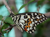 Chequered Swallowtail