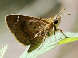 Banded Grass Skipper