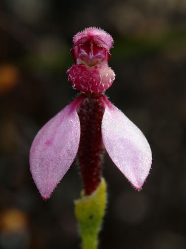 Bunny Orchid (Eriochilus sp.)